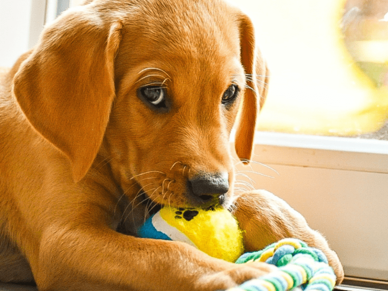 New Puppy? Here's my tried and true, puppy-tested and approved favorite toys!
